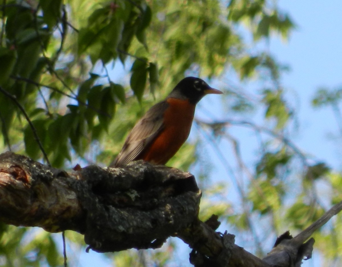 An American Robin male surveys his territory.
