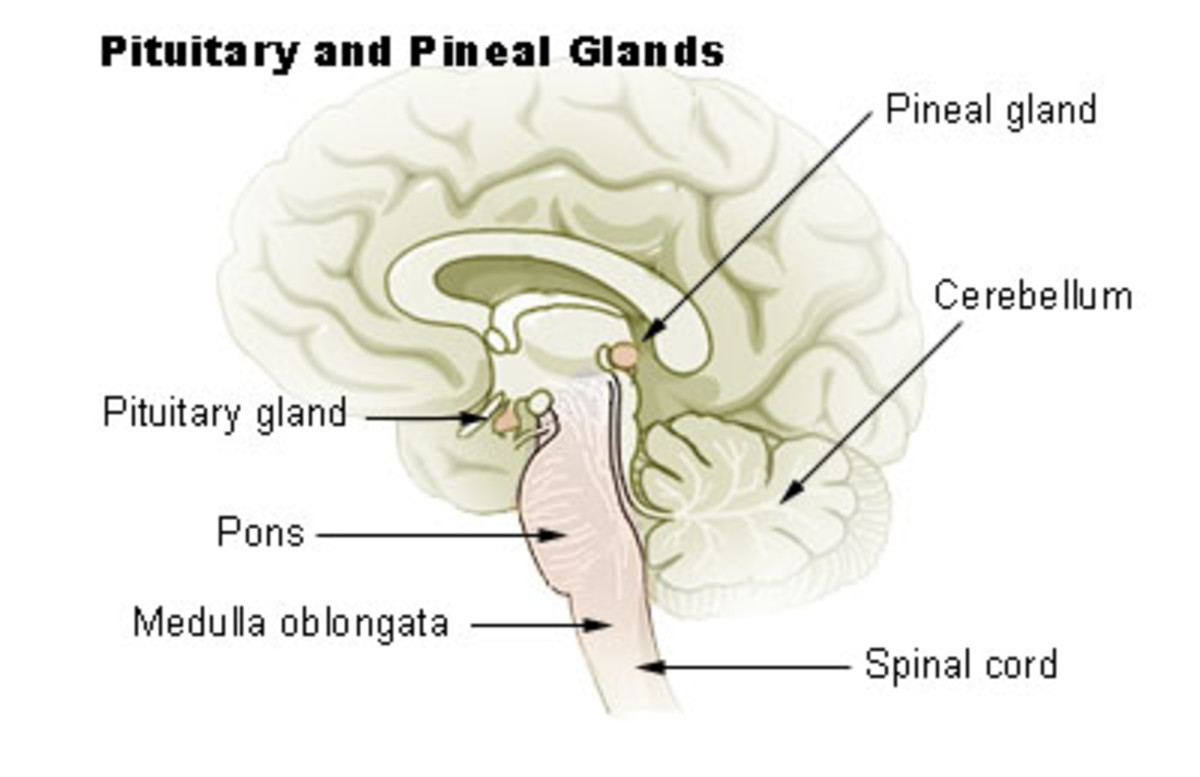 Rene Descartes (1596-1650) believed the pineal gland to be the principal seat of the soul