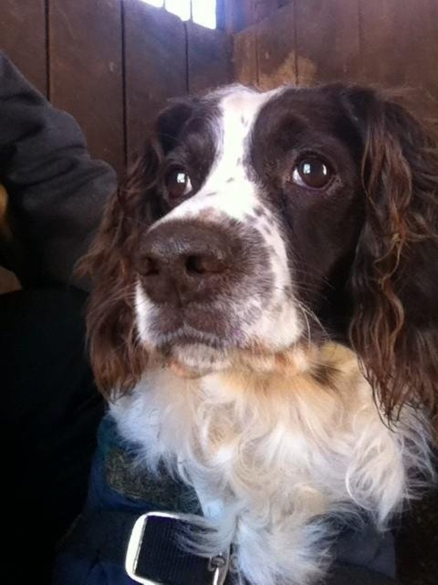 Lady, The English Springer Field Spaniel