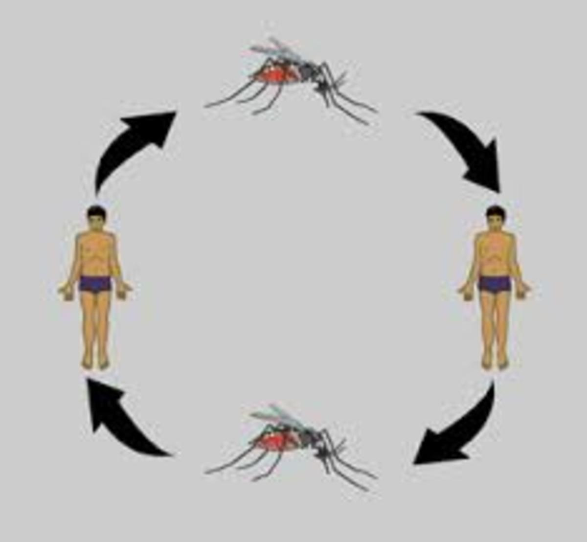 Dengue is spread by Aedes mosquito