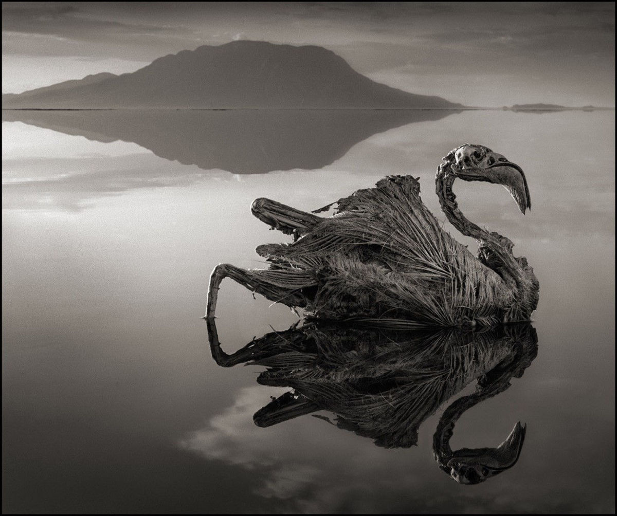 Lake Natron in Tanzania has a ph level of 10.5 that can burn the eyes and skin of animals who are not adapted to it...