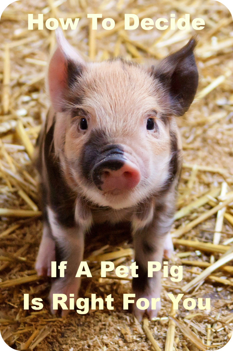 How to Decide If a Pet Pig Is Right for You