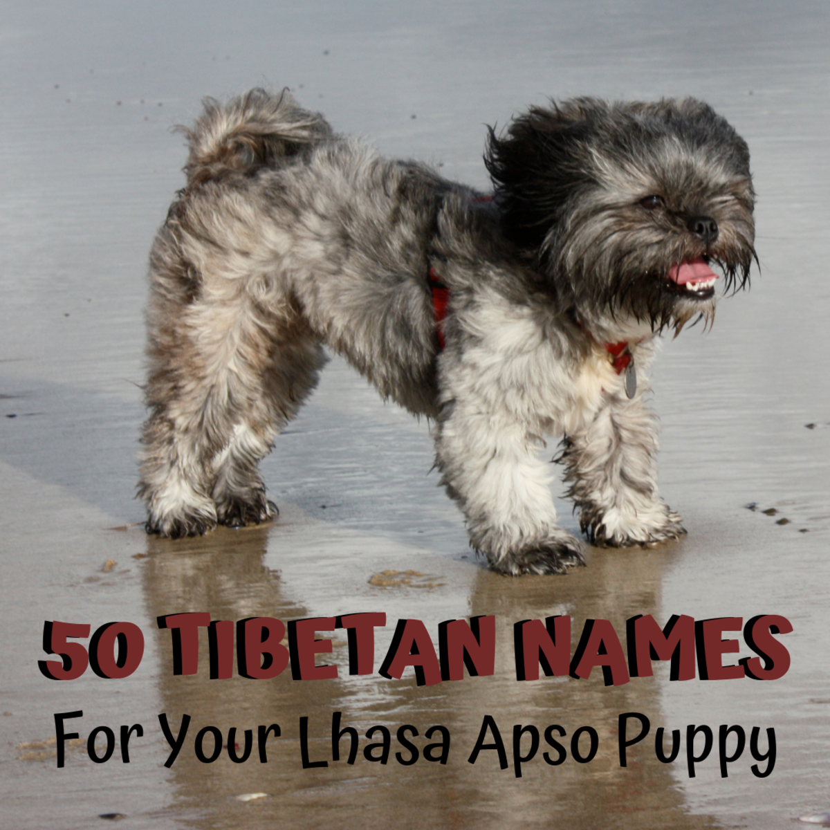 Since Lhasa Apsos are a Tibetan breed, why not give yours an authentic Tibetan name?