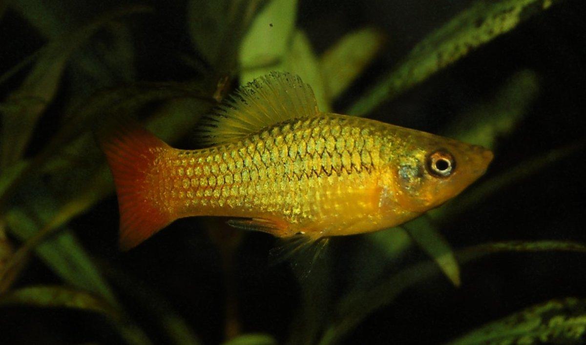 A male Marigold Platy.