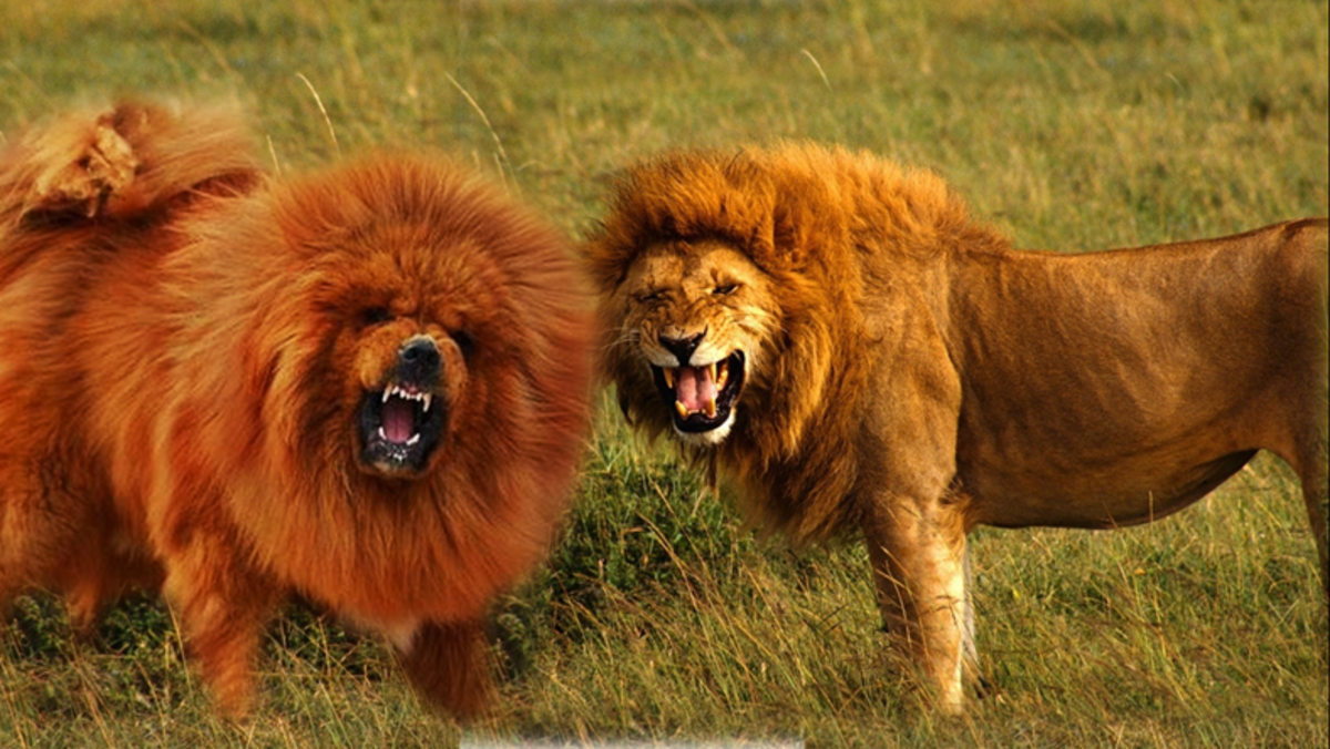 Tibetan Dogs Look Like Lions