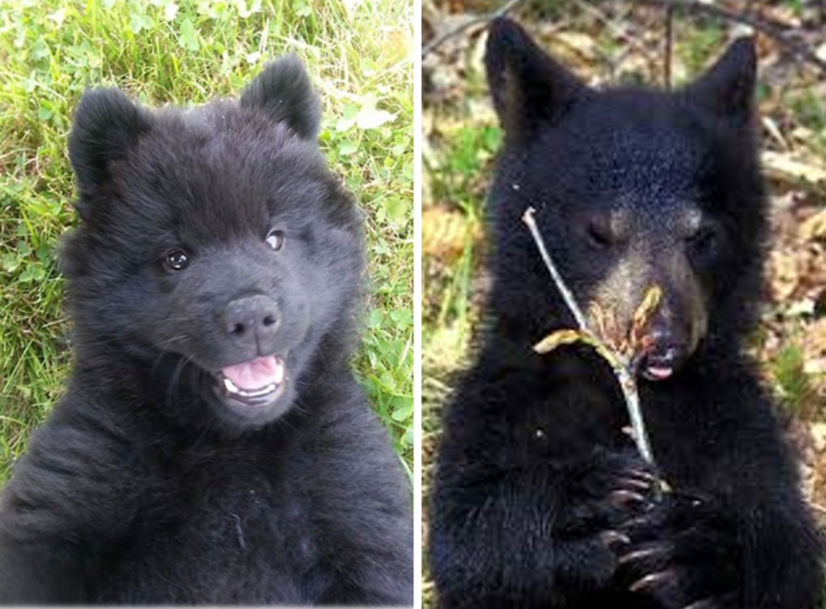 7 Dogs That Look Like Bears
