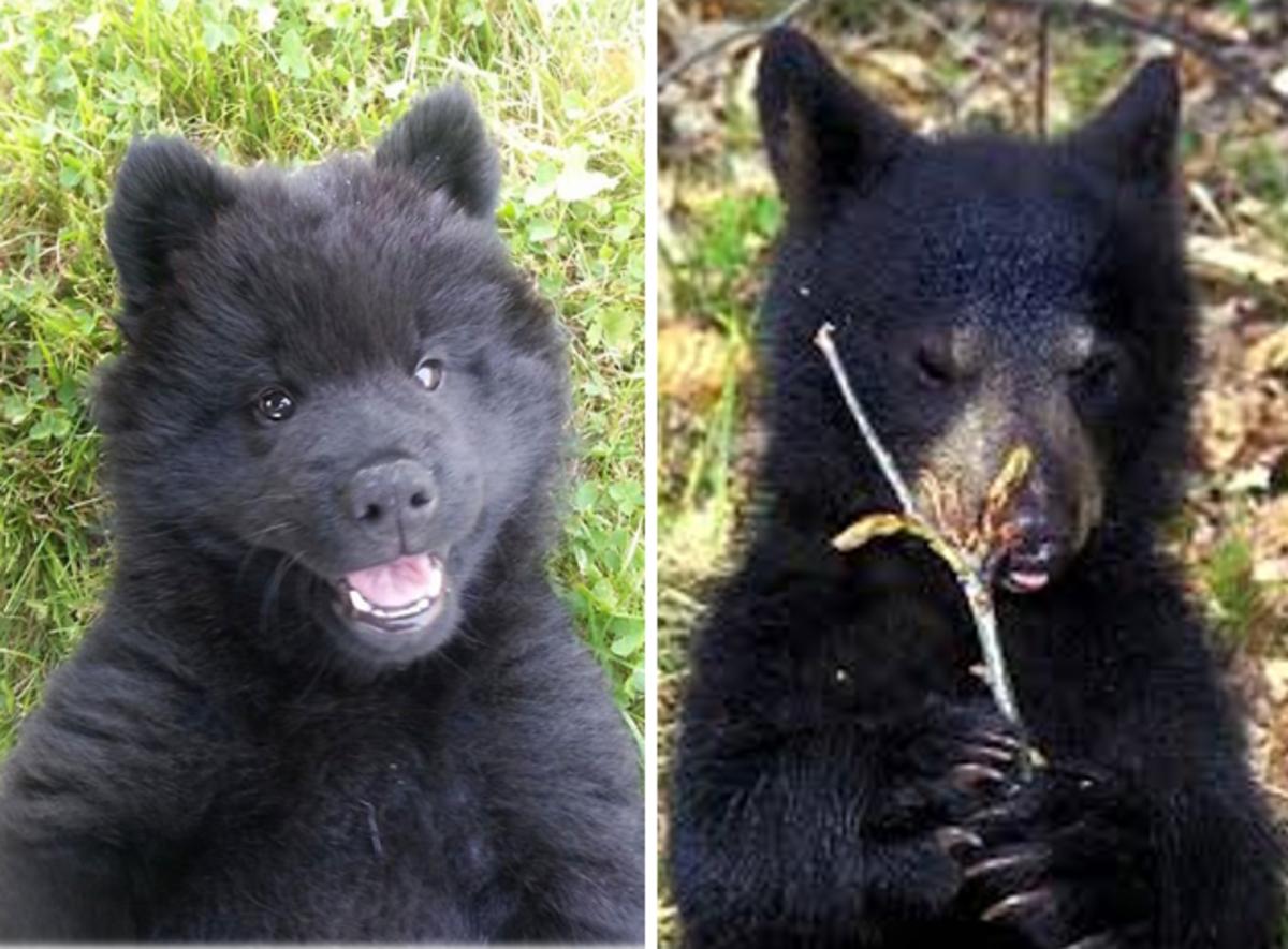 7 Dogs That Look Like Bears