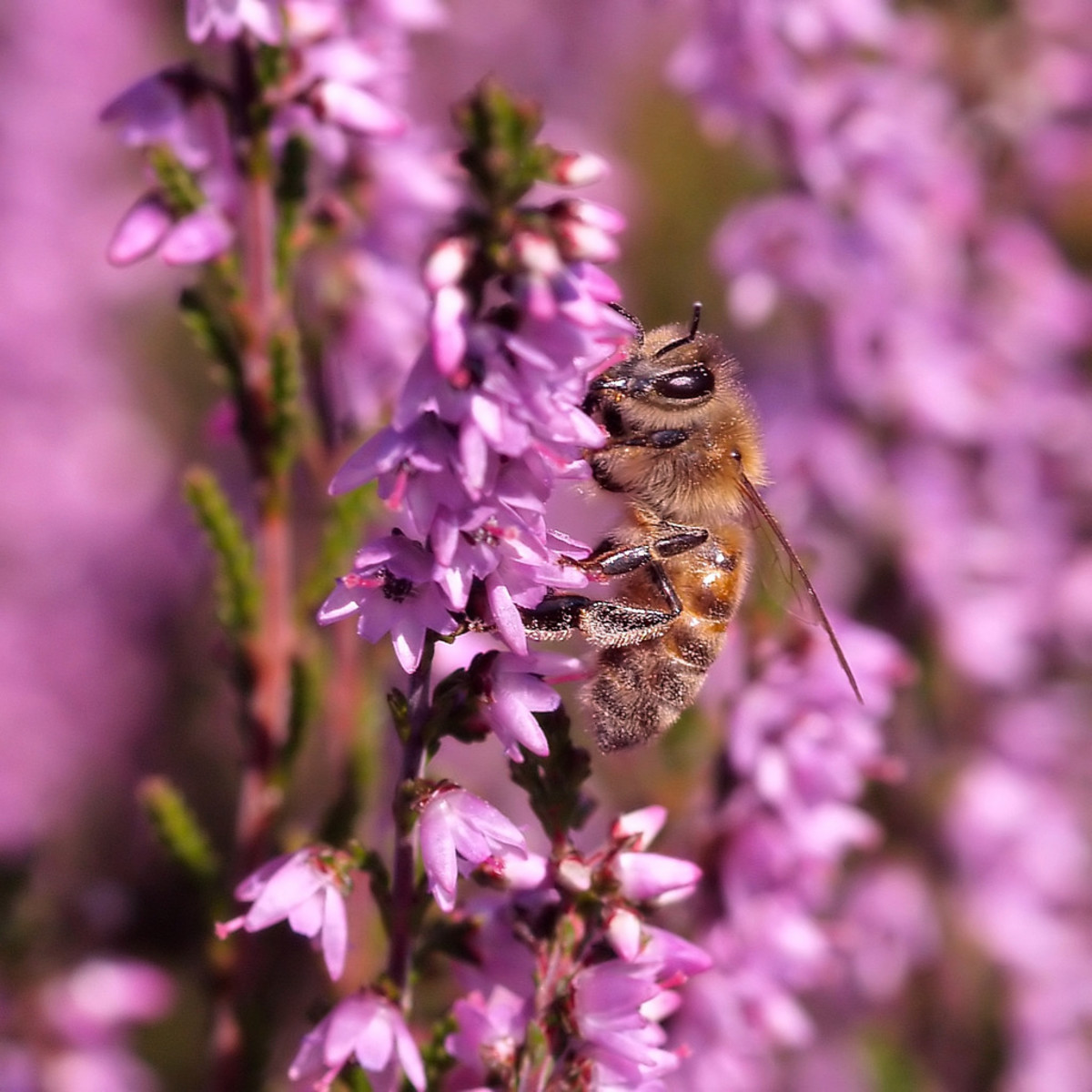 Bee on heather (Scotland)