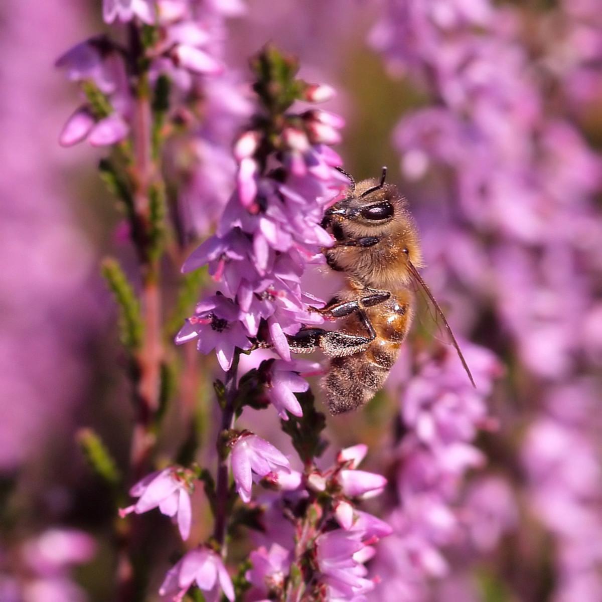 Bee on heather (Scotland)