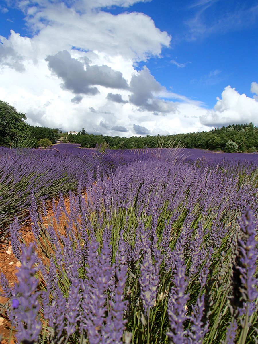 A lavender field in full bloom in Provence.