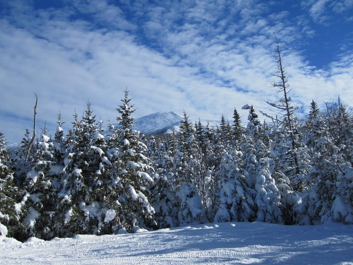 Fir Trees with Snow