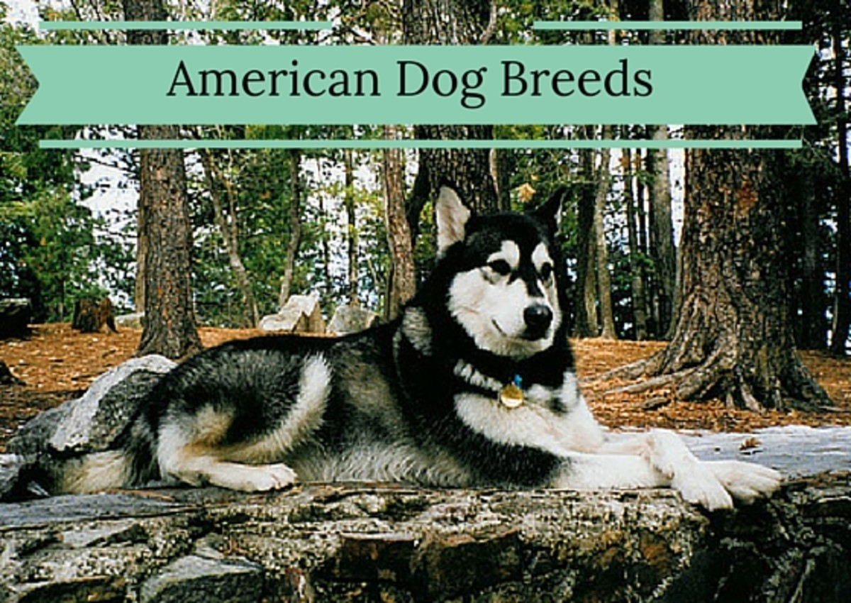 6 Dog Breeds That Originated In The United States