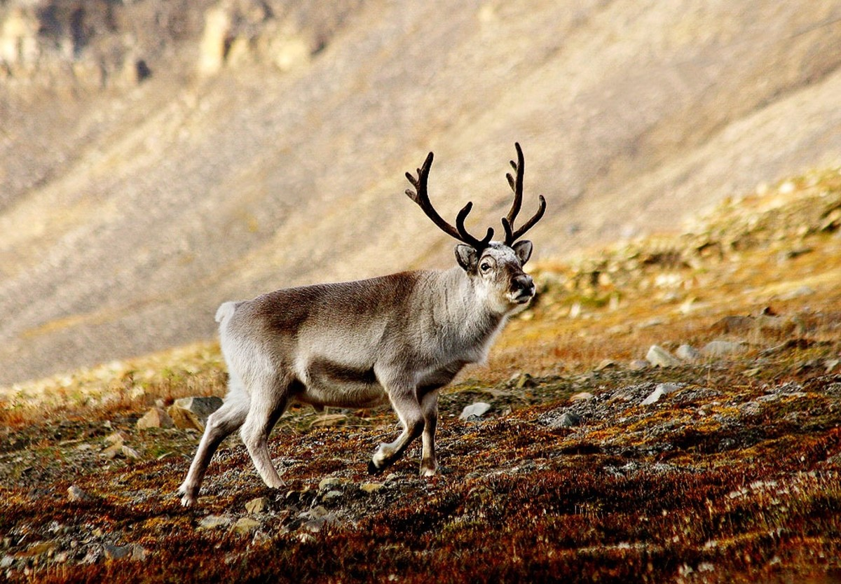 Svalbard Reindeer in Norway: Facts and Potential Problems