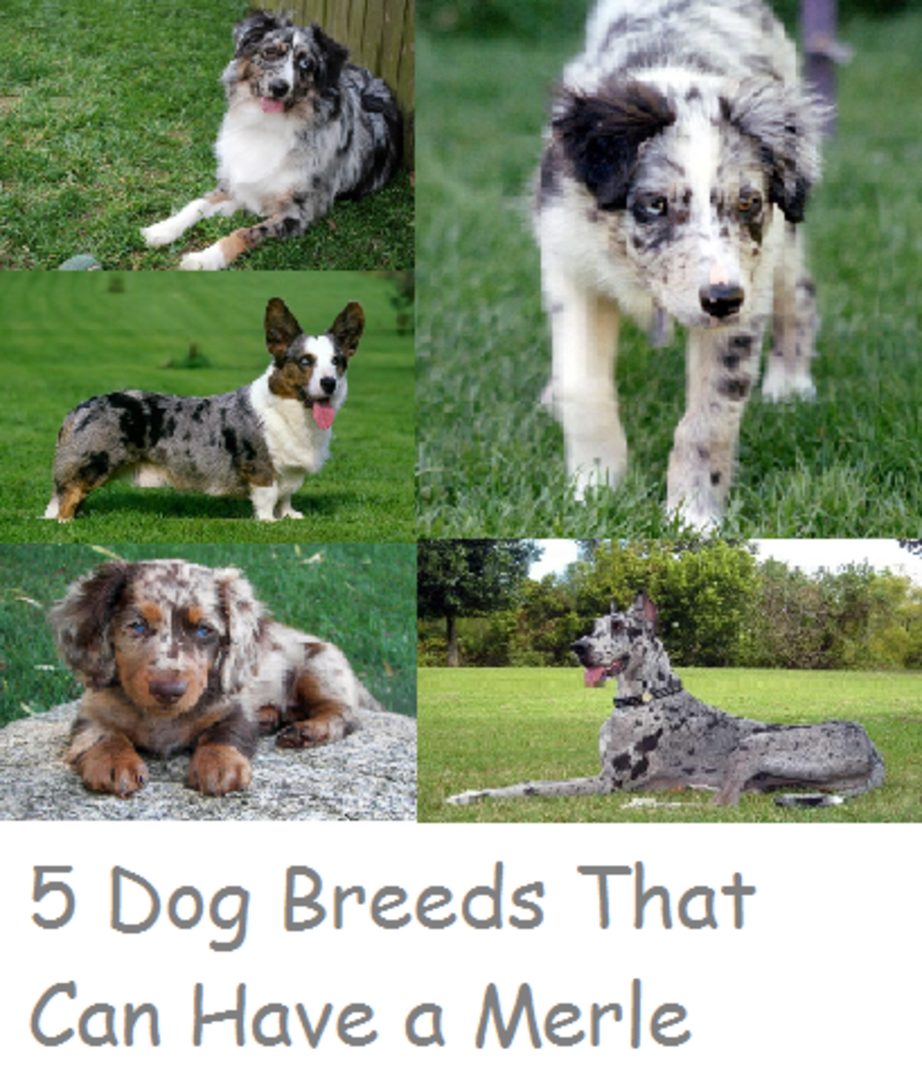 5 Dog Breeds That Can Have a Merle Coat