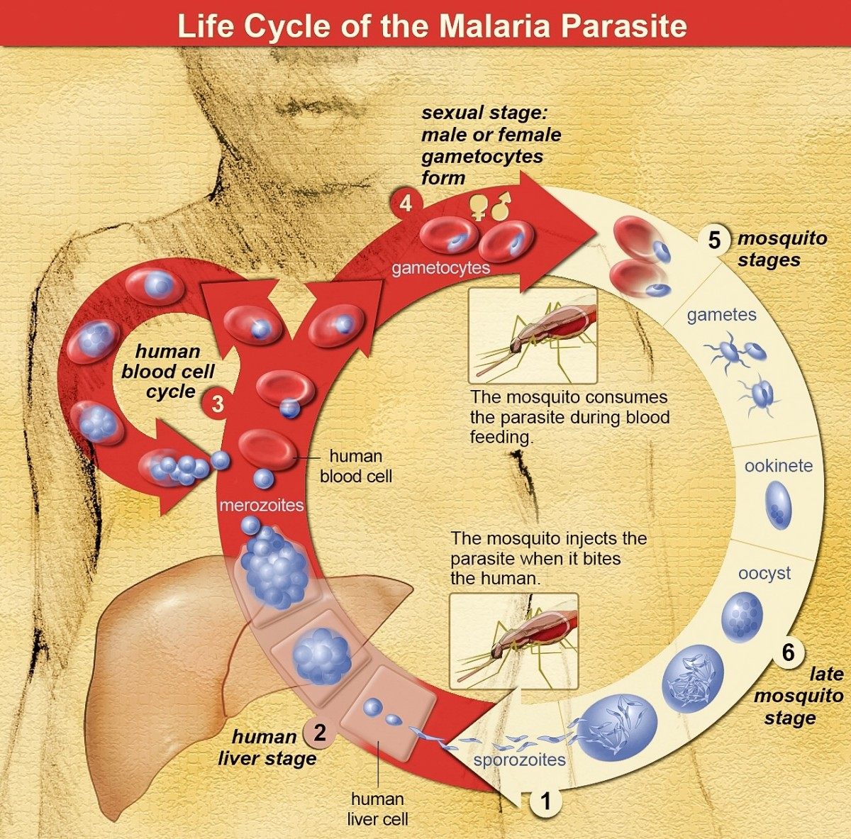 The malaria parasite in a human and a female mosquito