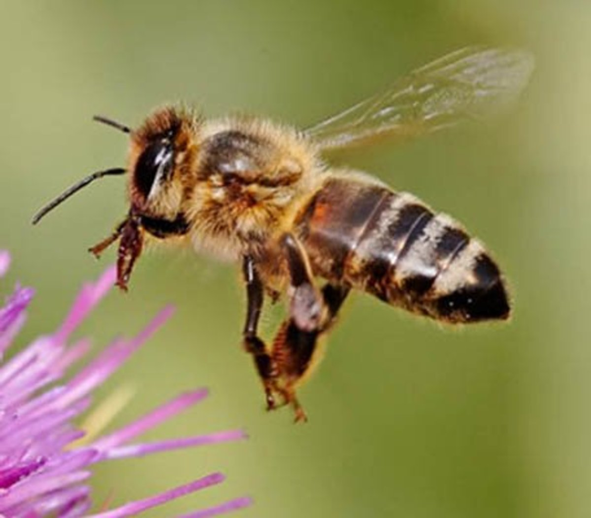 Bees, Pollination, and Habitat Loss