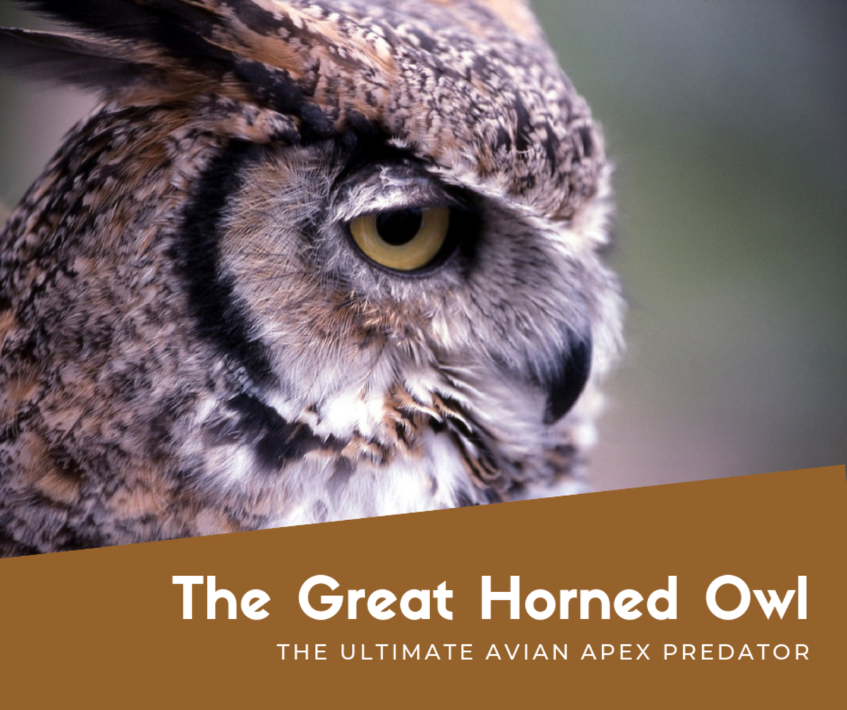 The Great Horned Owl: A Magnificent Avian Apex Predator