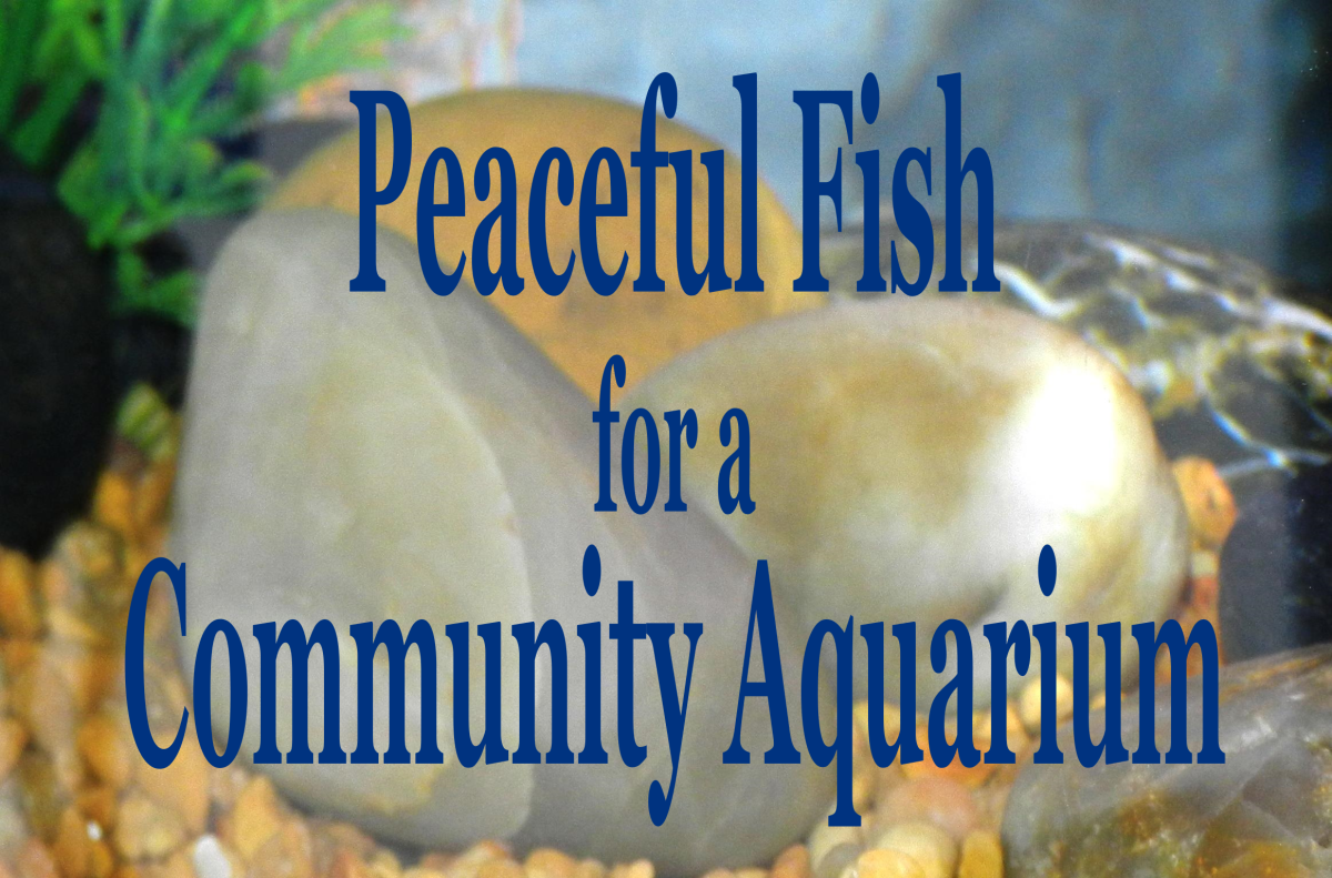 Find out which fish are the best choice for a calm, tranquil freshwater community aquarium.
