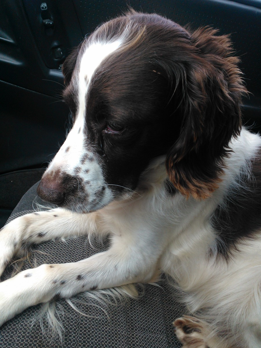 Lady, the English Springer Spaniel.