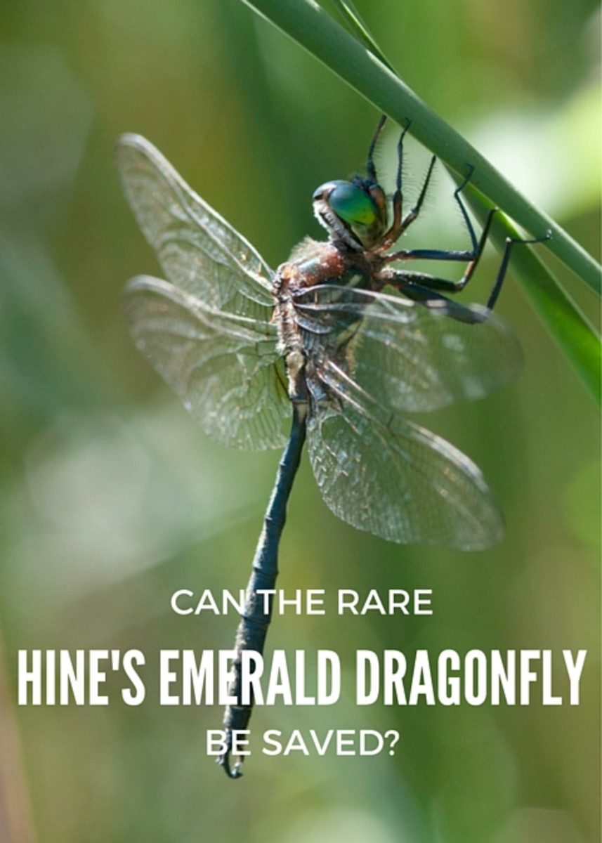 Can the Rare Hine's Emerald Dragonfly Be Saved?