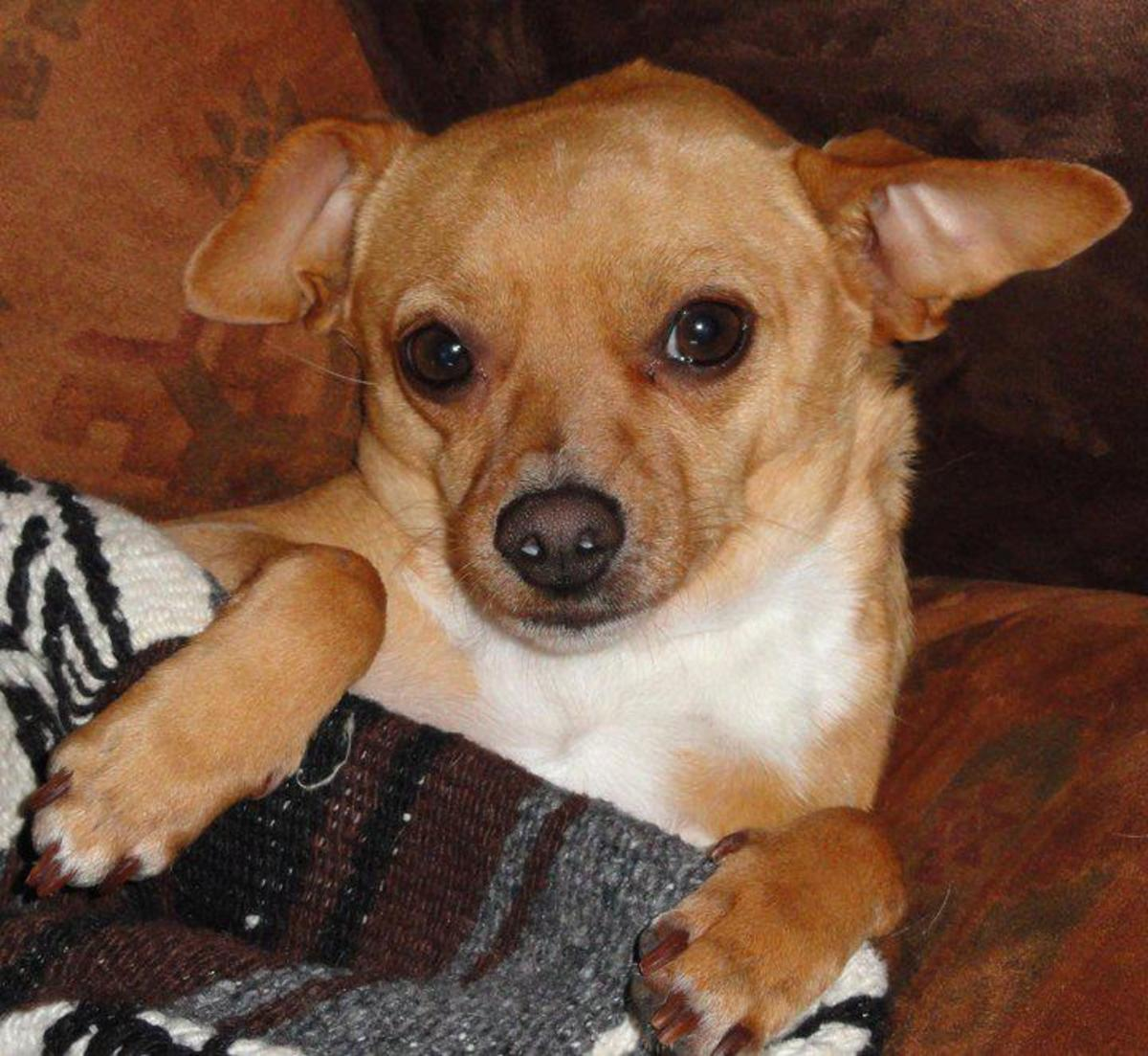 Chihuahuas: Care and Maintenance of the Smallest and Oldest Breed of Dogs