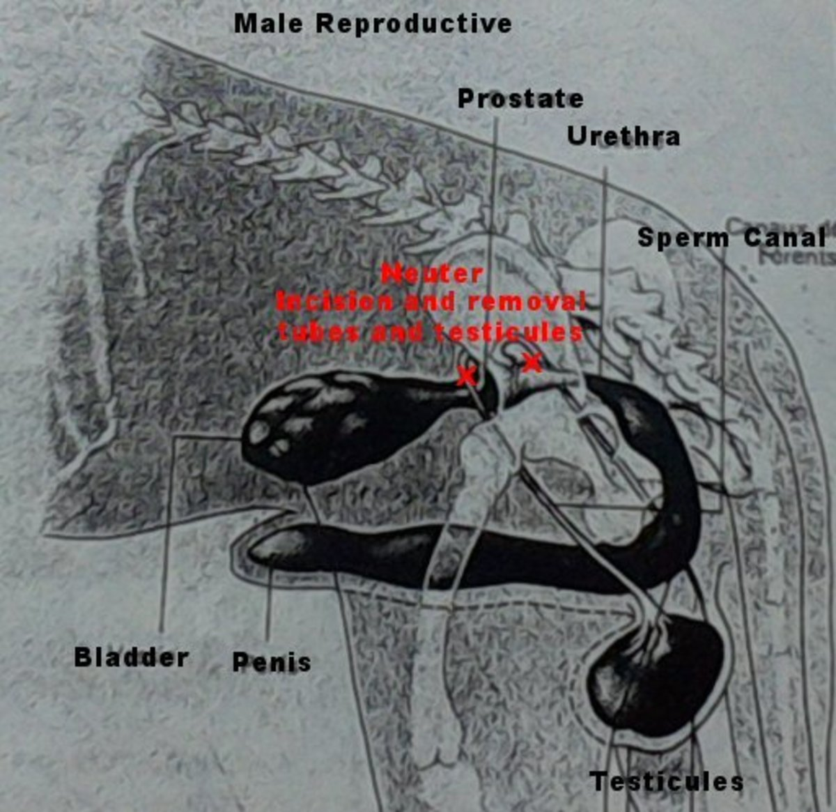 Neutering a cat or dog, they make a small incision at base of penis and pull the ligament to remove each testicle one by one, then cut the ligaments.