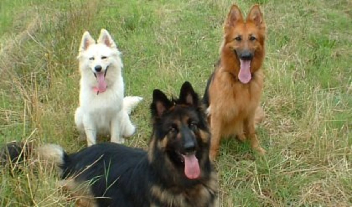 German Shepherd Coats and Colors