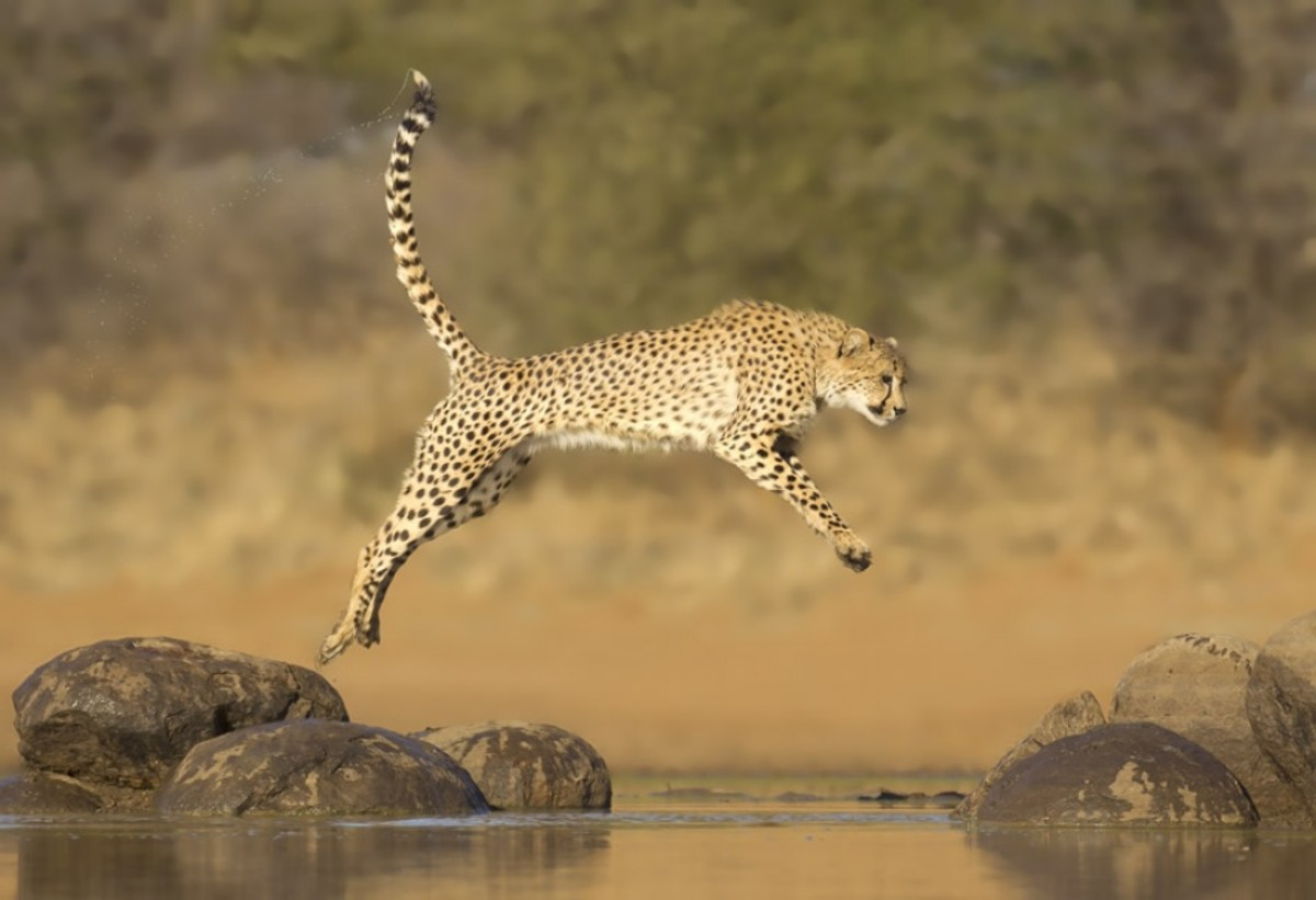 Acinonyx Jubatus, the Cheetah