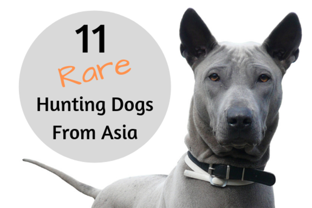 This is a blue Thai Ridgeback. Learn about this and other Asian hunting dogs below!