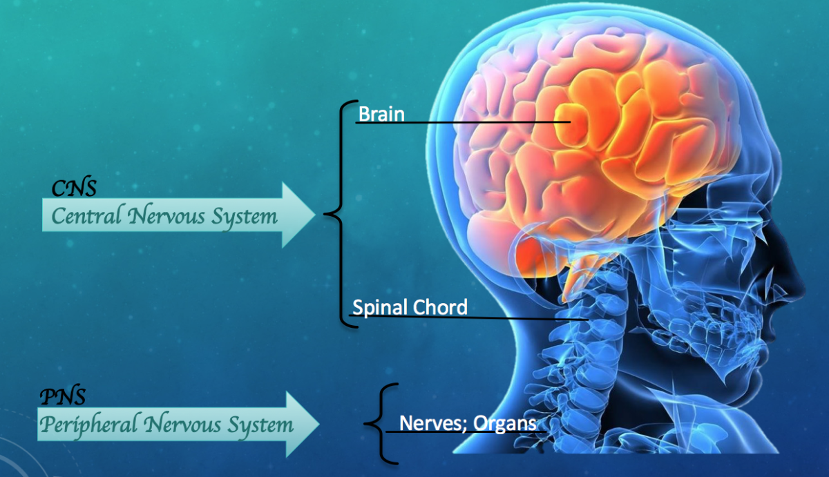 Basic Diagram of CNS (Central Nervous System) and PNS (Peripheral Nervous System)