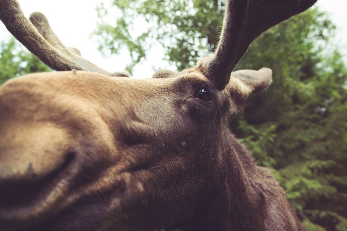 Elk have a friendly curiosity. They will approach visitors at the Moose Park.