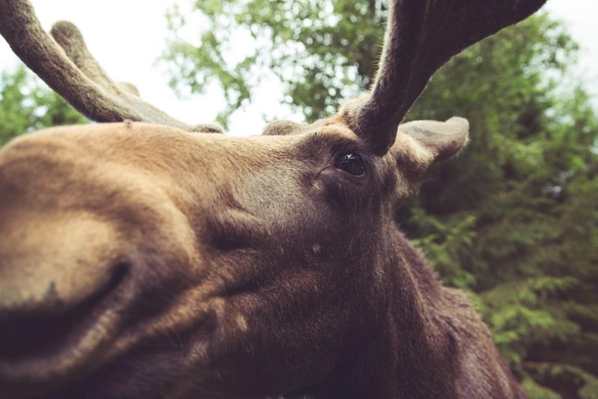 Visit Gårdsjö Moose Park, Uppsala Near Stockholm in Sweden