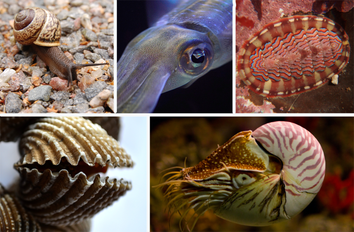 Types of Mollusk (Snails, Bivalves, Squid)