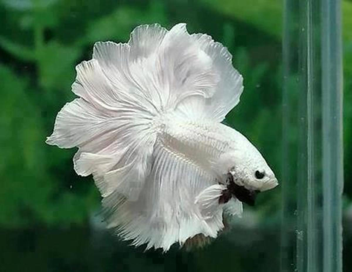 Beautiful betta fish thrive in large tanks.