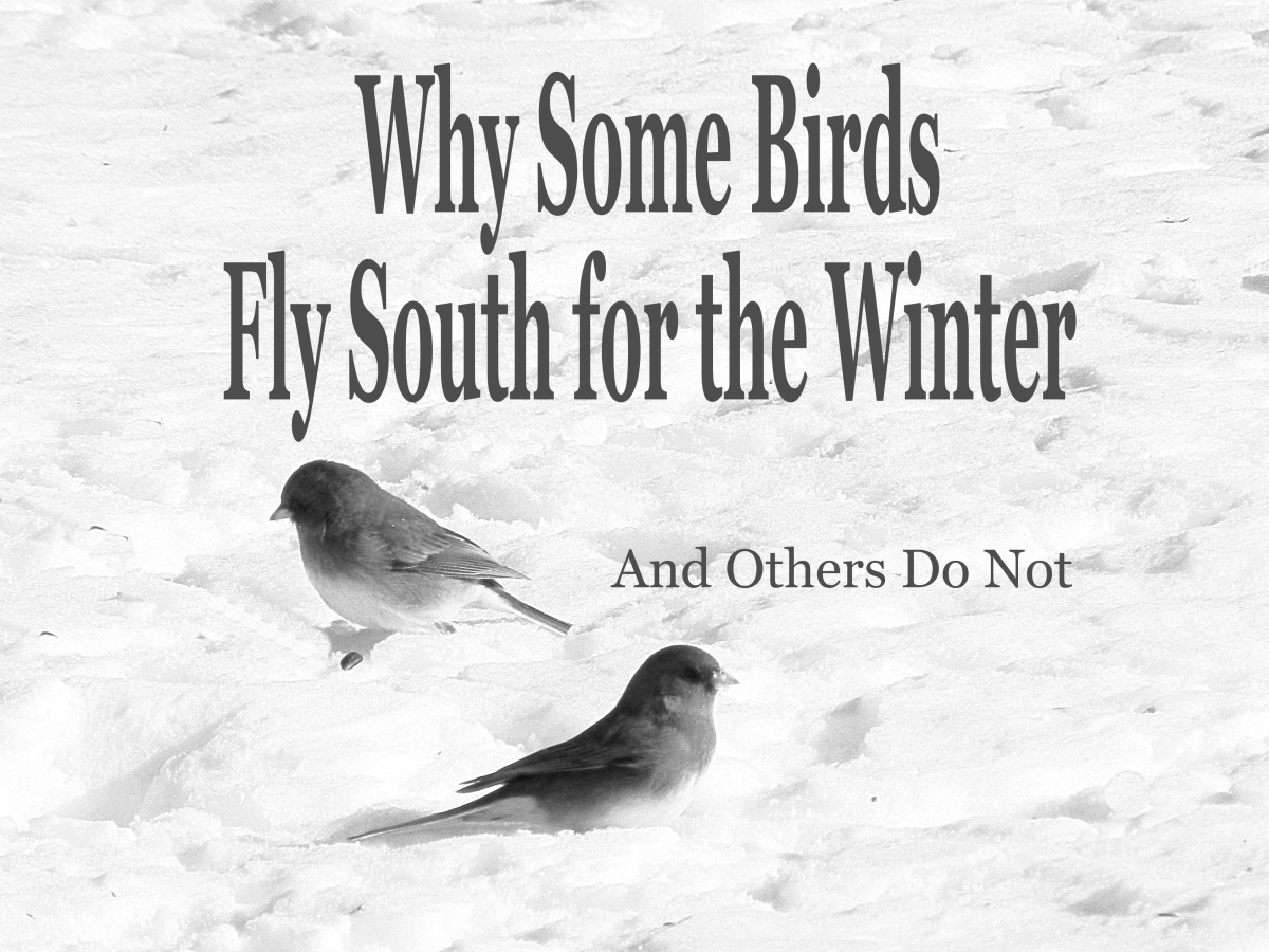 Why do some birds fly south for the winter while others stay to brave the cold and snow?