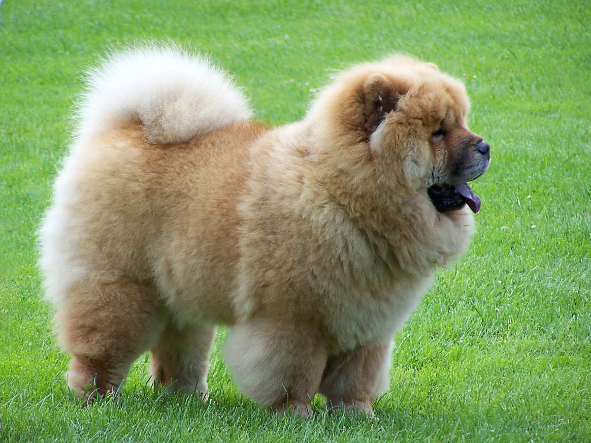 A chow-chow puppy.