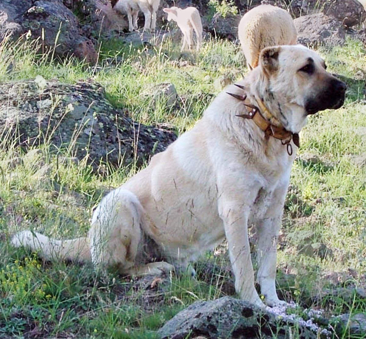 Noble Guard Dog and Protector of the Flock