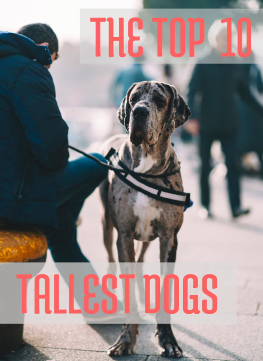 The Top 10 Tallest Dogs
