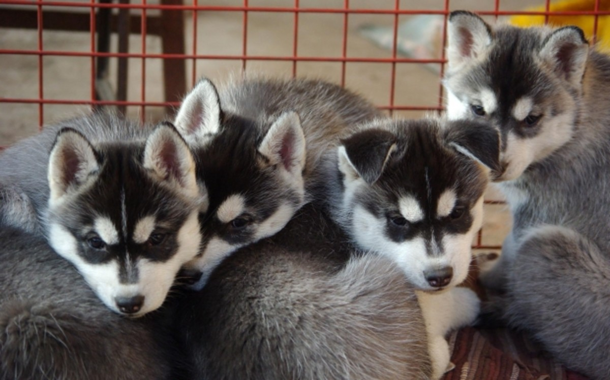 5 Things to Keep in Mind When Buying a Purebred Puppy From a Breeder
