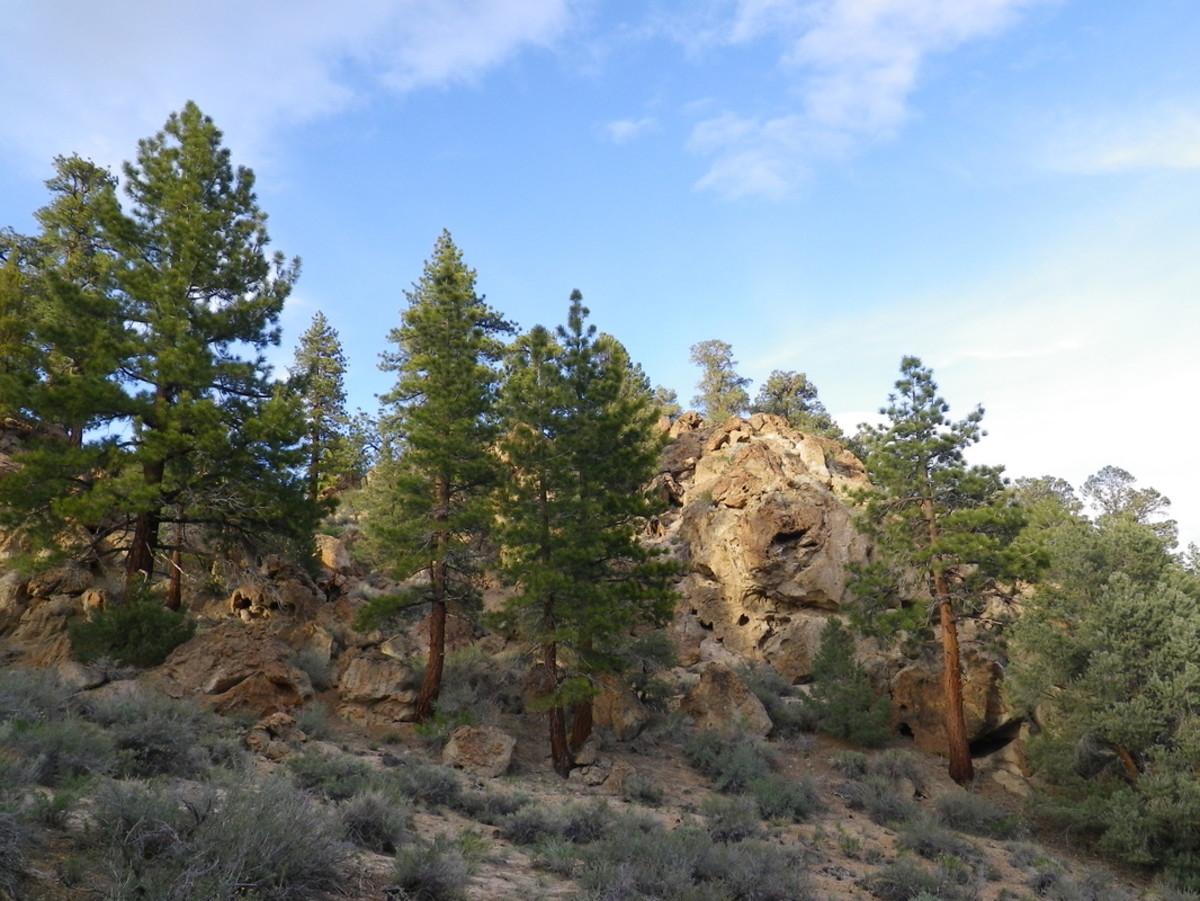 Pinus ponderosa