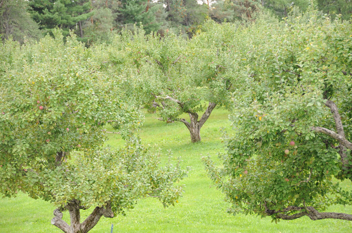 An orchard on the farm