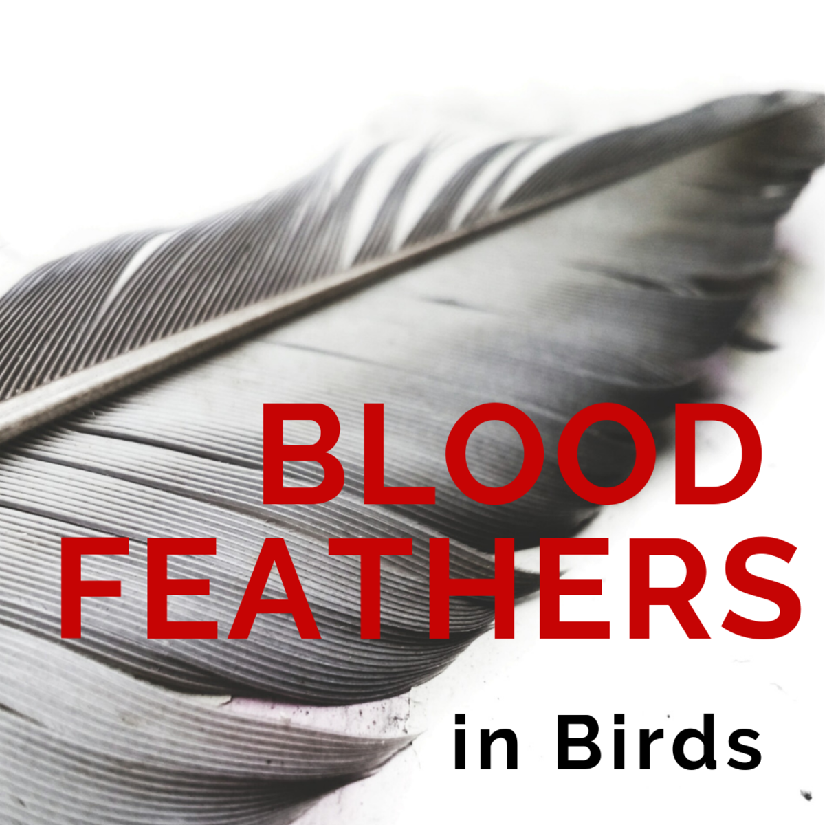 Blood Feathers in Birds: Pulling Feathers vs. Styptic Powder