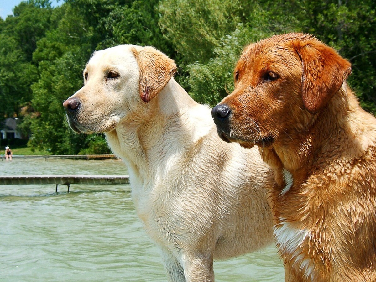 A yellow Labrador Retriever and a fox red one; the fox red form is a variation of the yellow form and isn't officially recognized as a distinct type