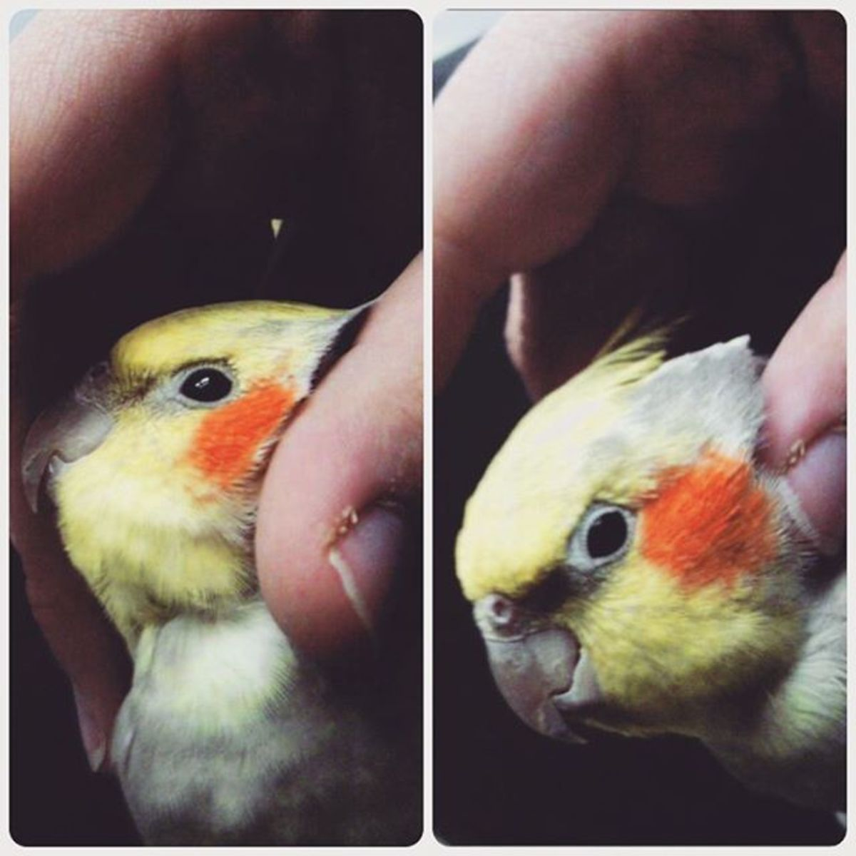 My excuse to show you Rocky, my youngest cockatiel.