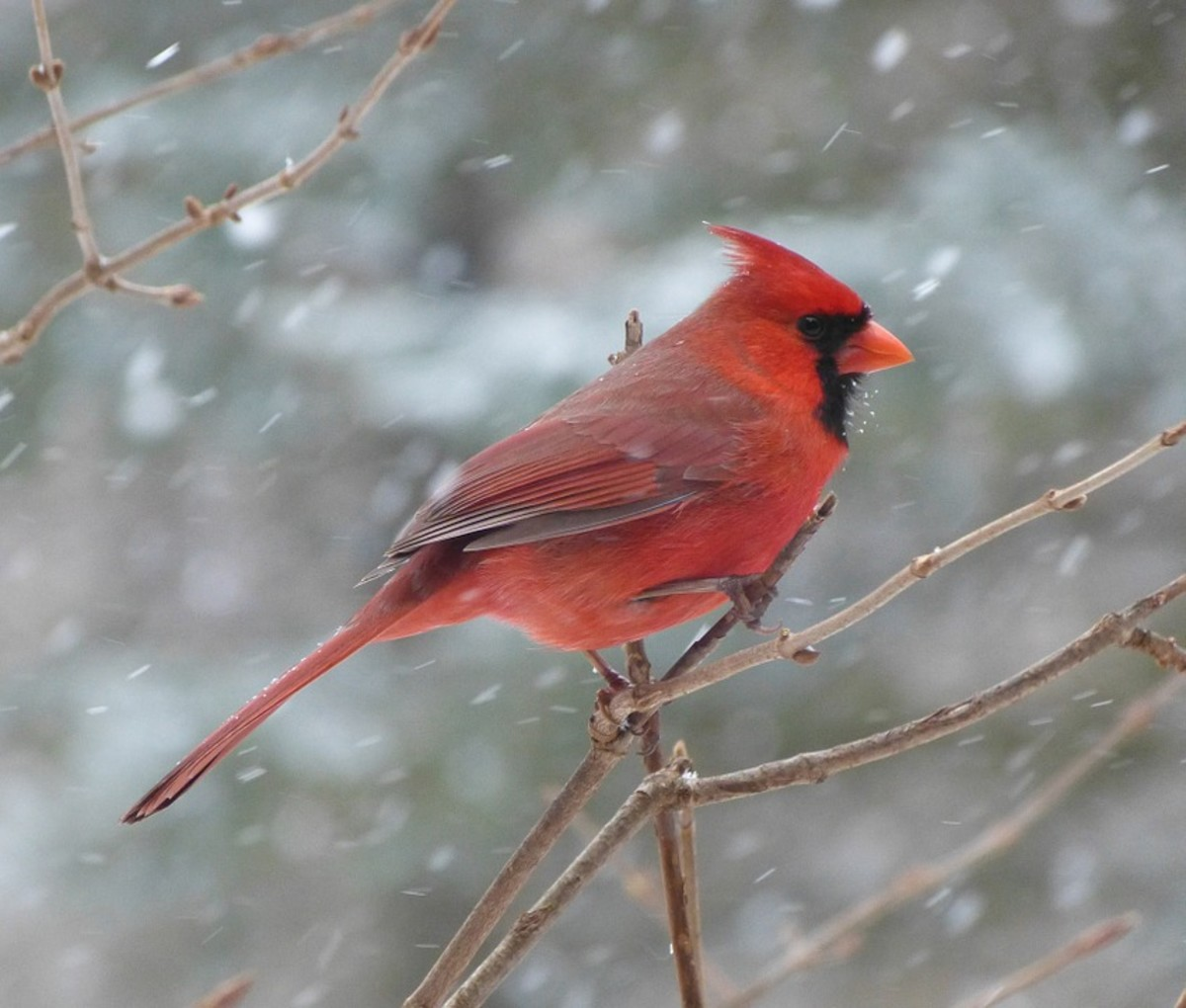 Cardinal in Winter on Branch CC0 Public Domain