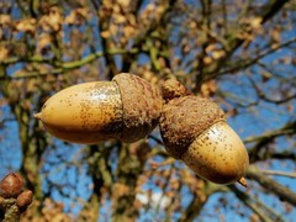 """ . . . The Acorn's Tale"""