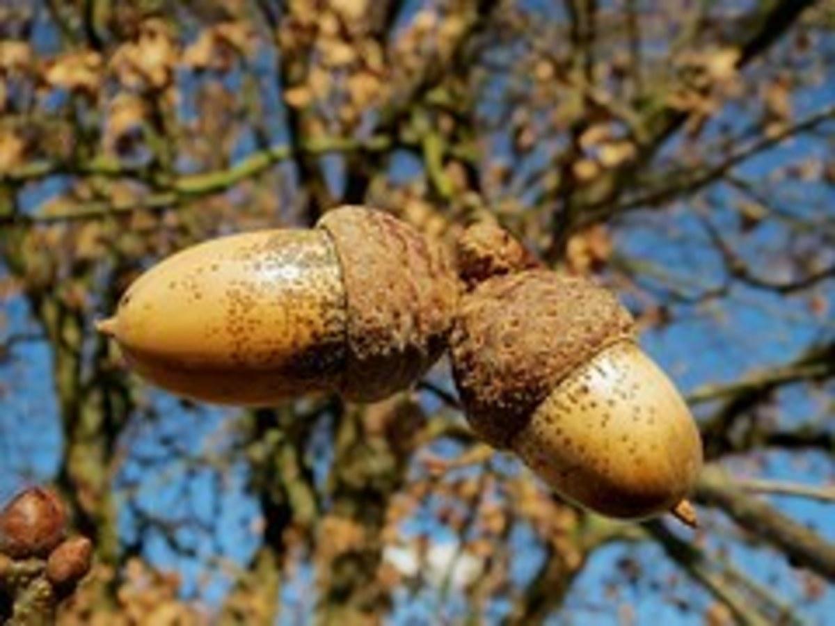 Oak acorn, Quercus Robur