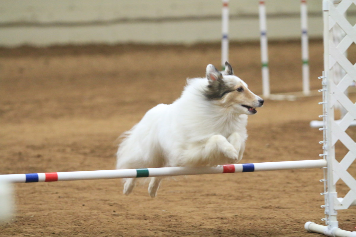 How to Train an Agility Dog to Run With a Physically Limited Handler