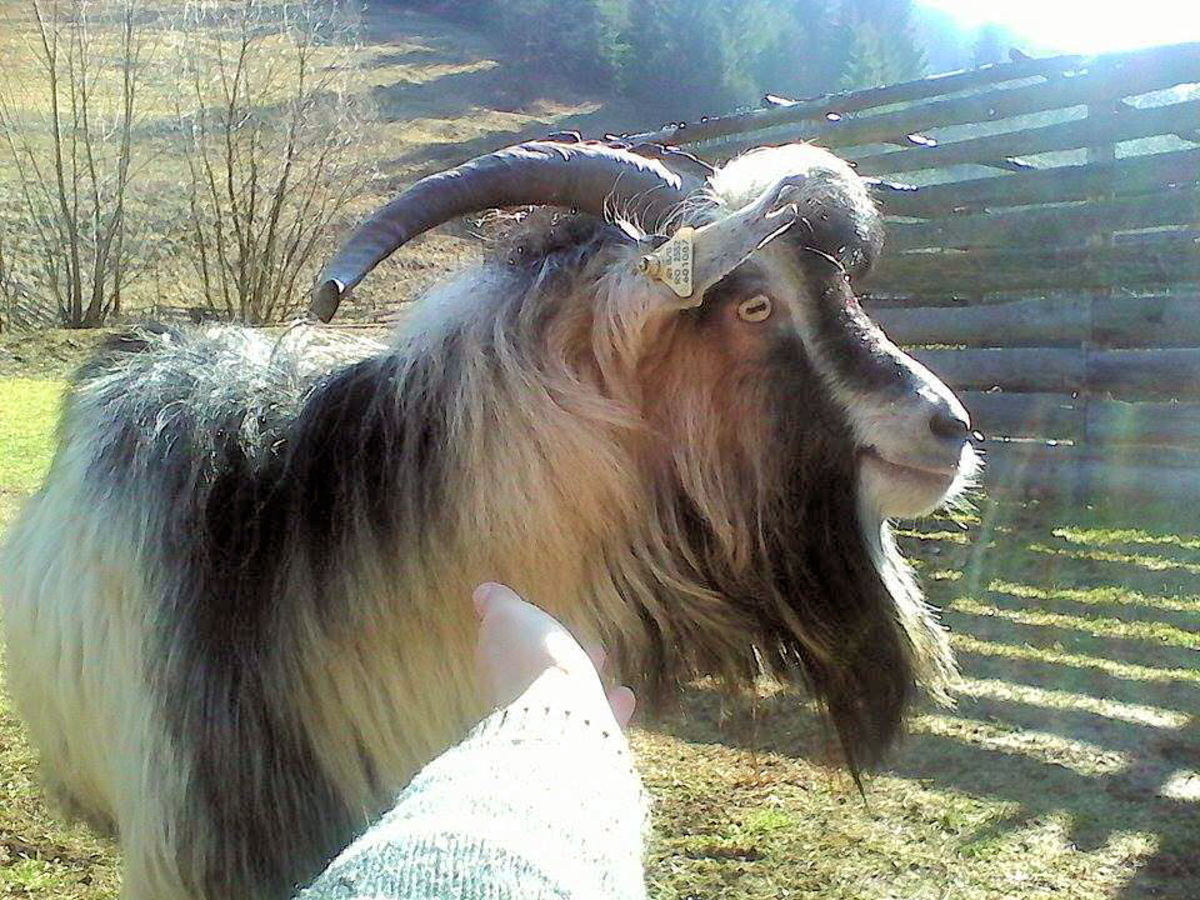 Goats have interesting faces.