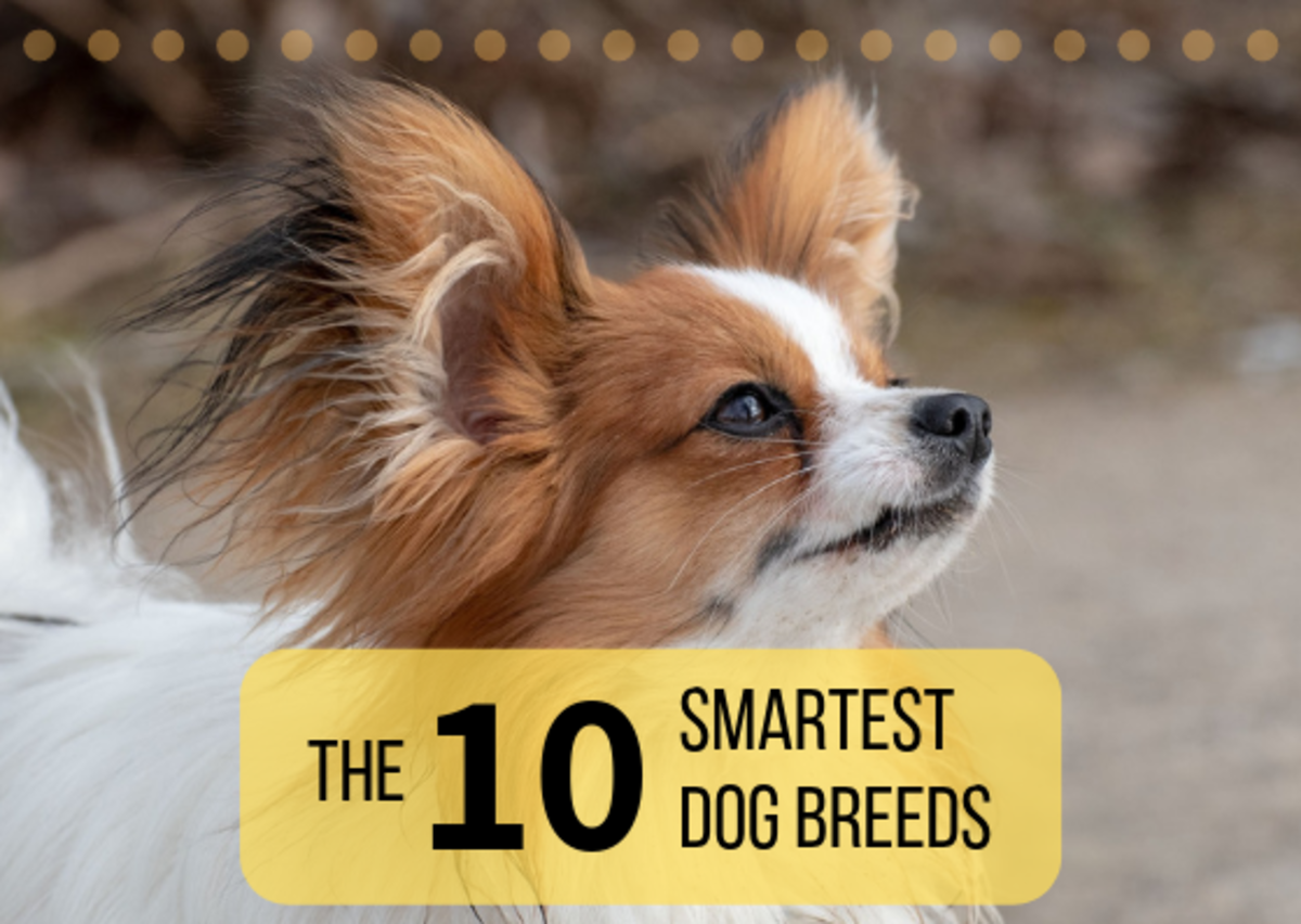 Discover the 10 dog breeds that are considered to be the smartest. The Papillon (shown above) is #8 on the list.